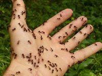 Ameisen auf der Hand